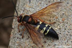 cicada killer top